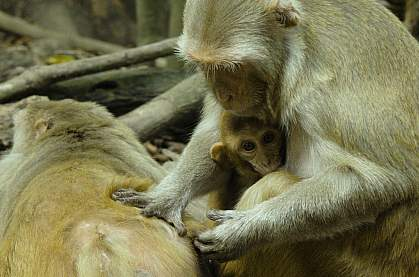 Female rhesus macaque grooming another.