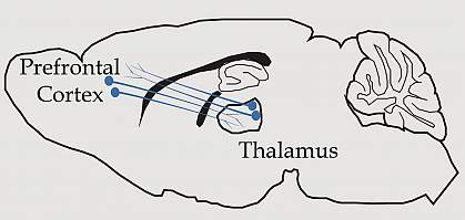 Illustration of neurons connecting the thalamus, which is near the center of the brain, to the prefrontal cortex at the front of the brain.