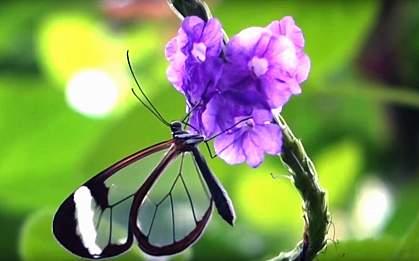 Longtail glasswing butterfly