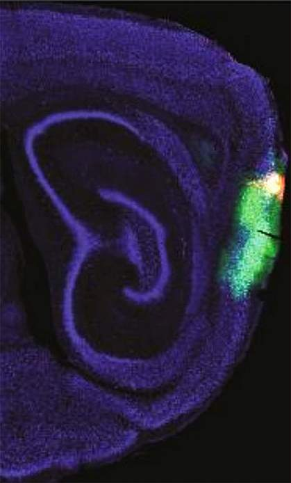 Time-keeping cells in mouse brain