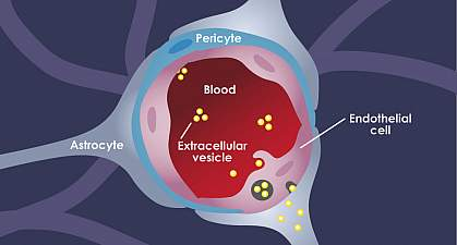 Illustration of extracellular vesicles moving from blood through endothelial cells and into astrocytes