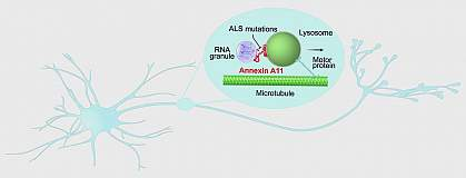 Cartoon of annexin A11 connecting an RNA granule to a lysosome that a motor protein is carrying through a neuron along a microtubule