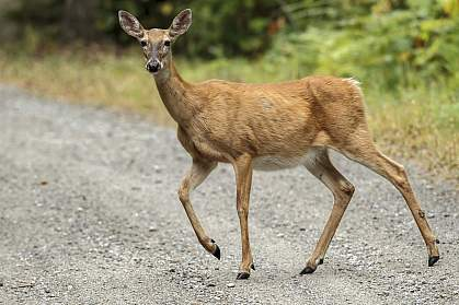 White-tailed deer crossing a gravel road