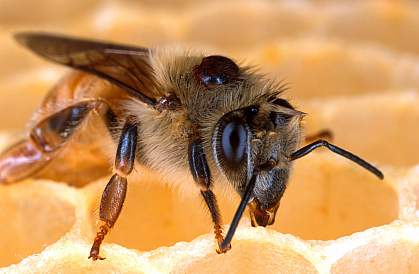 Honey bee with a Varroa mite