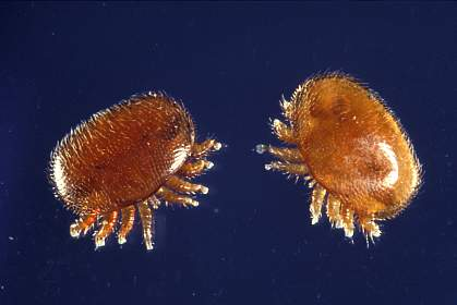 Two Varroa mites