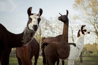 Llamas on farm
