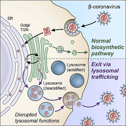 Illustration of the biosynthetic secretory pathway and lysosome exocytosis pathway