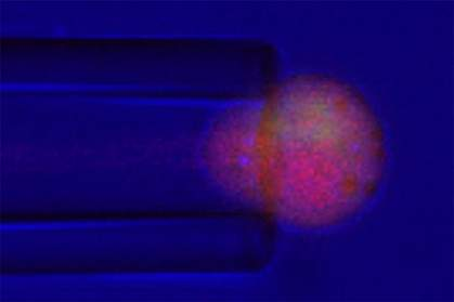 Chondrocyte squeezed into tip of micropipette