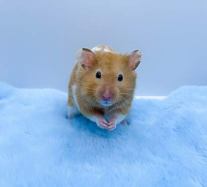 Syrian hamster on blue furry material