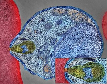 Malaria parasite attaching to human red blood cell