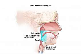 Anatomical illustration of the oropharynx.