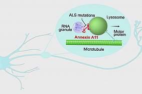 Cartoon of annexin A11 guiding hitchhiking through a neuron.