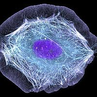 This normal human skin cell was treated with a growth factor that triggered the formation of specialized protein structures that enable the cell to move. We depend on cell movement for such basic functions as wound healing and launching an immune response.