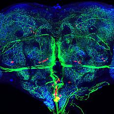 Brain circuits of a fruit fly.