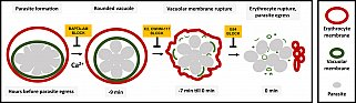 Diagram showing the sequence of events involved in rupture of the vacuole and host cell membrane leading to release of the malaria parasite. Using chemical inhibitors, the researchers showed that it's possible to block each event in the sequence.