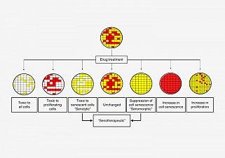 Screening scheme for potential senotherapeutics. Red are senescent cells; yellow are non-senescent cells. Senotherapeutics either kill senescent cells (senolytics) or otherwise suppress the senescent state (senomorphics).