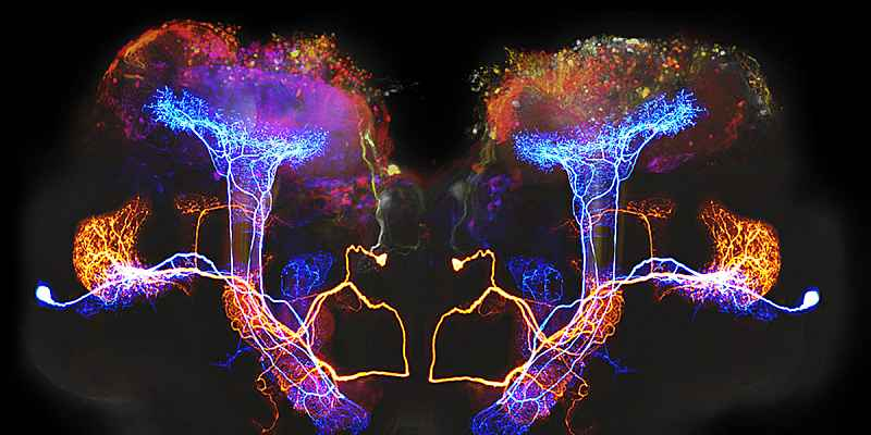 This composite image shows two neurons in the locust brain (one colored orange, one colored blue) that process information about odors.