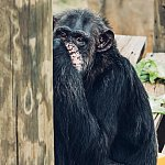 Charity, an NIH-owned chimpanzee at Chimp Haven, enjoys a quiet moment.