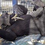NIH Chimpanzees at the Alamogordo Primate Facility, New Mexico
