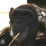Image of a chimp