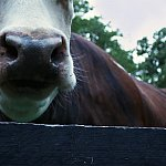 Image of a cow.