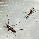 Female and male Aedes aegypti mosquitoes