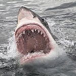 Image of a great white shark