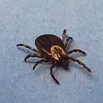 Female Dog Tick