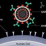 Image of an antibody binding to the surface of a virus