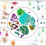 A central circle with multiple colored patches inside. The colored patches represent a visualization of the mouse MOp transcriptomic taxonomy. The colored patches are overlaid with small black dots representing mapped neuronal cells. Surrounding the centr