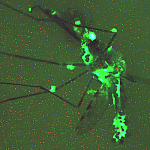 Mosquito with glowing green areas throughout its body