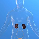 Illustration of kidneys in a translucent body
