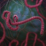 An illustration of the Ebola virus.