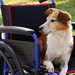 A dog sitting in a wheelchair