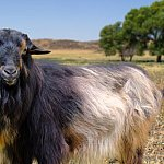 Papadum the goat