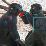 Image capture from a video shows monkeys grooming with a red dot overlaid where one monkey's hand is touching the other's face.