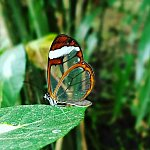 Longtail glasswing butterfly