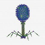 Antigens on T4 phage capsid