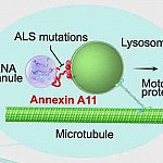 Cartoon of annexin A11 function