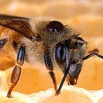 Honey bee with a Varroa mite