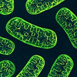 3D illustration of mitochondria