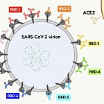 Illustration of how seven different types of antibodies bind to spike proteins on the SARS-CoV-2 virus surface
