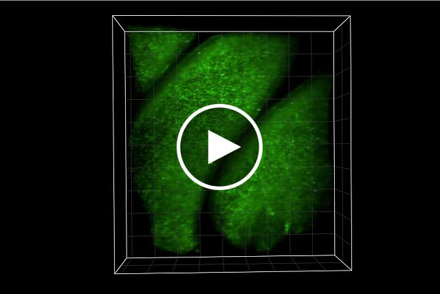 3D SCAPE video of mouse olfactory tissue.