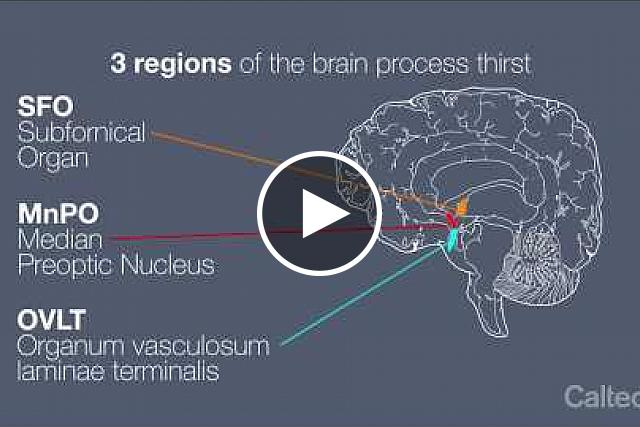 An animation of how the brain monitors dehydration, initiates drinking, and quenches thirst. Caltech