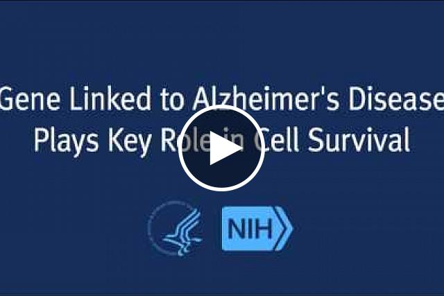 Scientists have discovered that a gene linked to Alzheimer's disease may play a beneficial role in cell survival by enabling neurons to clear away toxic proteins. A study funded by the National Institute on Aging (NIA), part of the National Institutes of Health, shows the presenilin 1 (PS1) gene is essential to the function of lysosomes, the cell component that digests and recycles unwanted proteins. However, mutations in the PS1 gene—a known risk factor for a rare, early onset form of Alzheimer's disease—disrupt this crucial process.