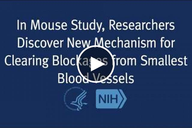 Researchers have identified in mice a previously unknown protective mechanism by which the smallest blood vessels remove blood clots and other blockages from the brain. The findings provide insights into mechanisms that may be involved in age-related cognitive decline, Alzheimer's disease and recovery from stroke.