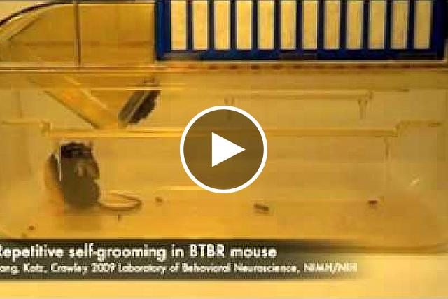An untreated BTBR mouse absorbed in repetitive self-grooming. MuYang, Ph.D., Adam Katz, and Jacqueline Crawley, Ph.D., NIMH Laboratory of Behavioral Neuroscience