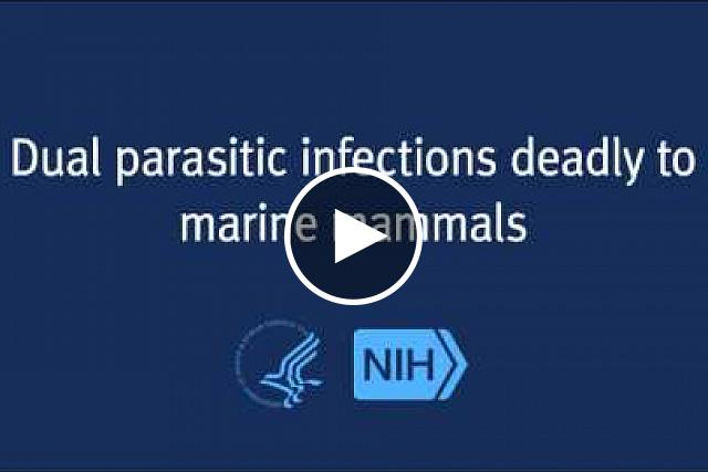 An NIH study finds that seal, sea otter and porpoise deaths are linked to co-infection with two parasites normally found in land animals.